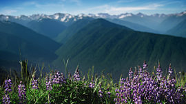 Mountain Pines Purple Flower Focus