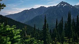 Mountain Pines Tall Trees